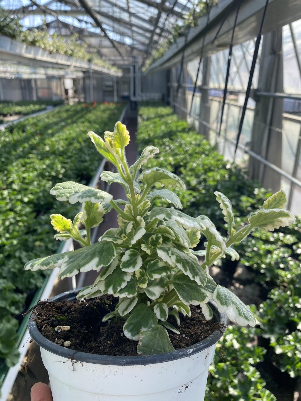 Piante Basse Da Aiuola incenso | floricoltura alberta