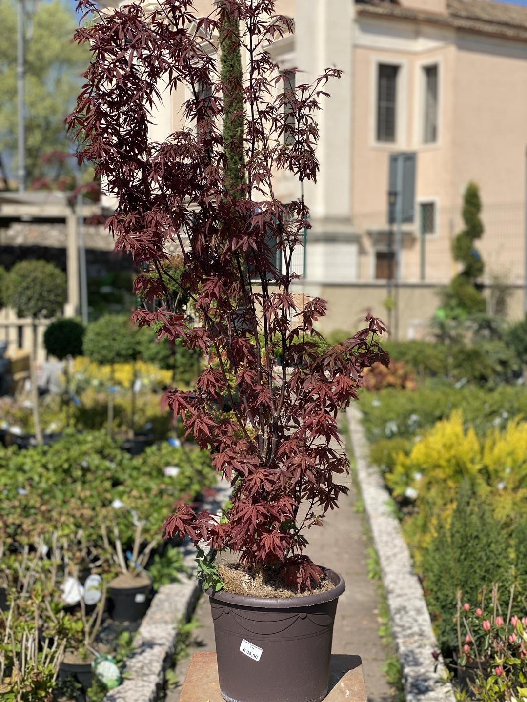 Acero Giapponese Verde acero palmato atropurpureum rosso
